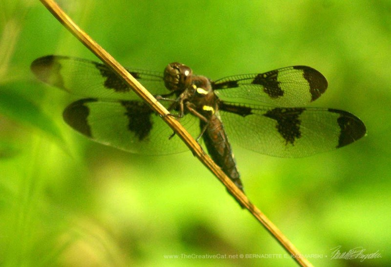 A Common Whitetail or a 12-spotted Skimmer in my back yard.