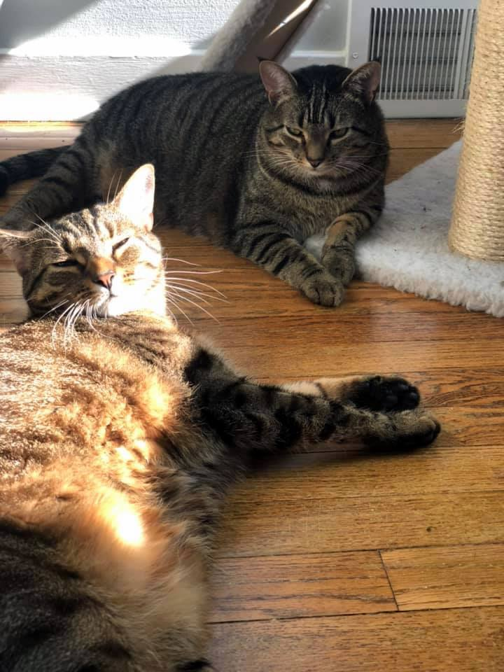 Two nice tabby cats.