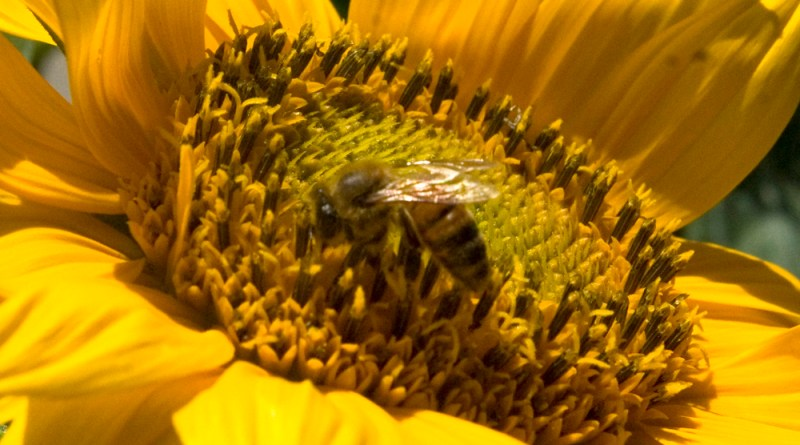 A honey bee in a sea of yellow.