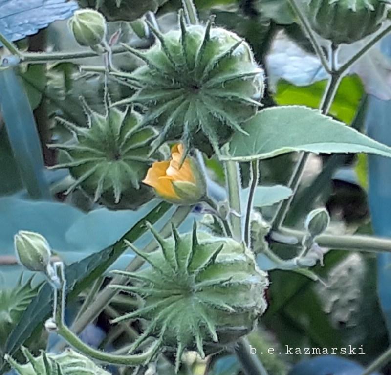 Indian mallow or velvet leaf.