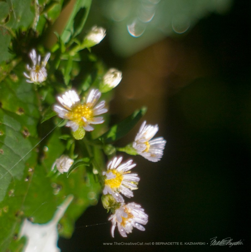 Asters with raindrops.