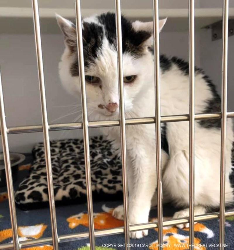 Senior cat Pumpkin is up for adoption.