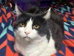 tuxedo cat with FeLV