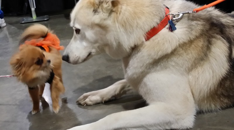 The chihuahua meets the wolf dog.