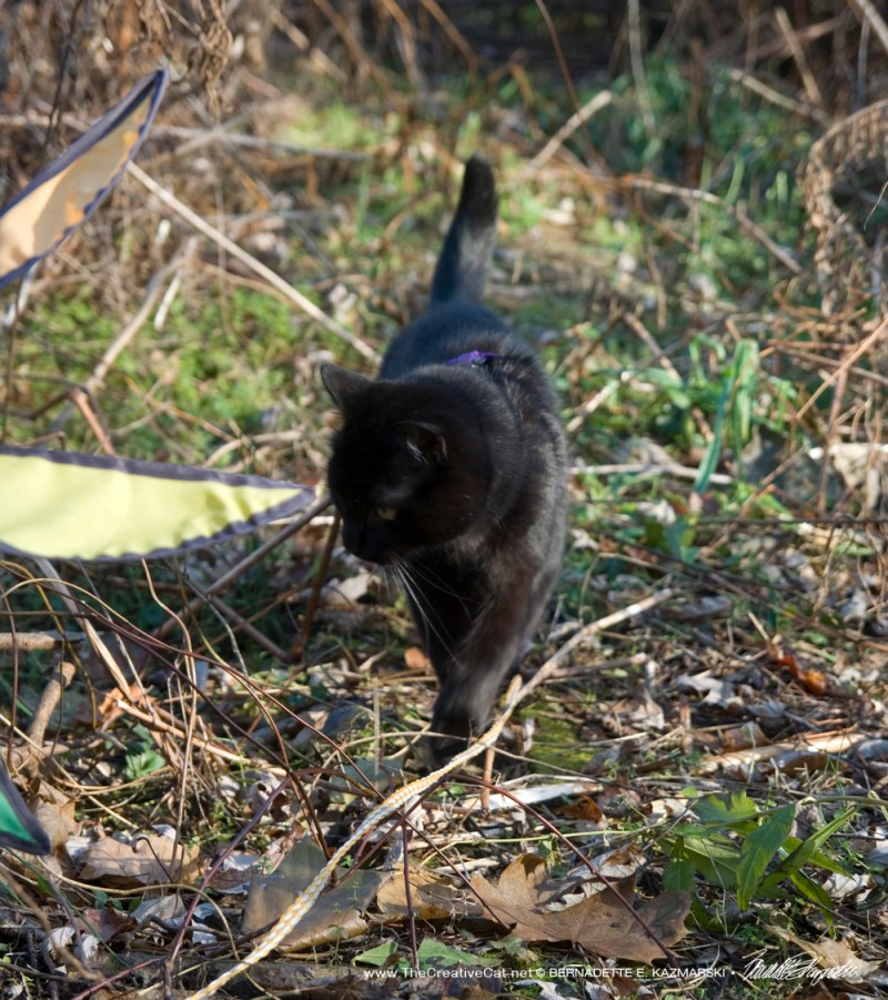 Mewsette walks down the path. So much to smell!