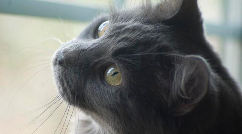 Teddy Bear watching the birds. gray kitten at window