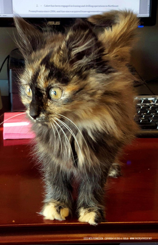 Jasmine. tortoishell kitten
