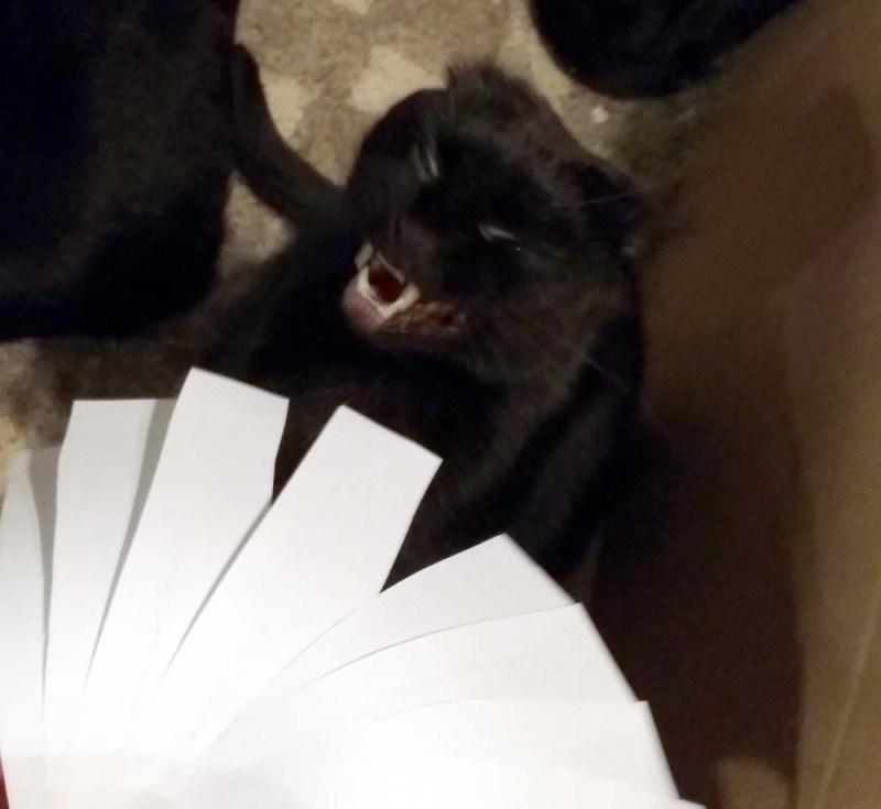 black cat laughing