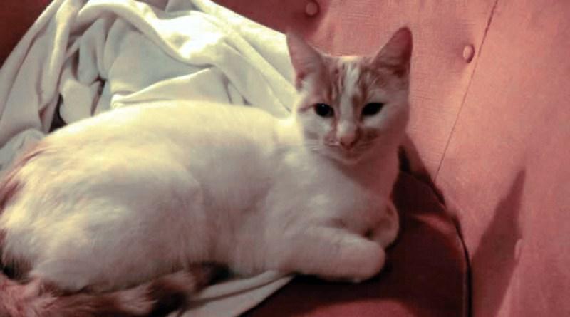 white cat with orange