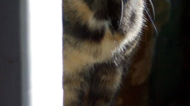 tortoiseshell cat peeking around corner