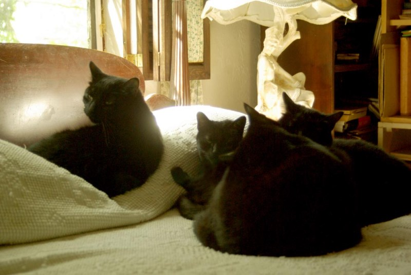 four black cats on bed in the sun