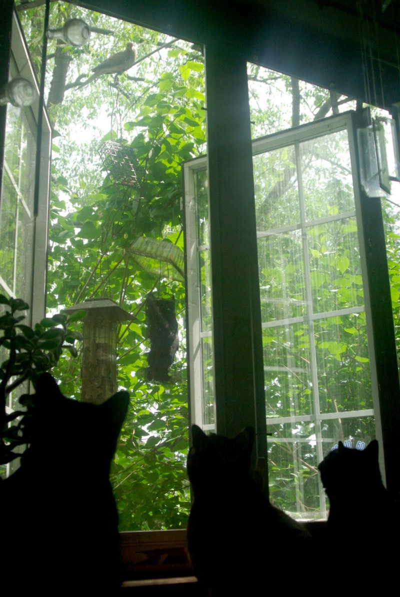 three cats watching doves
