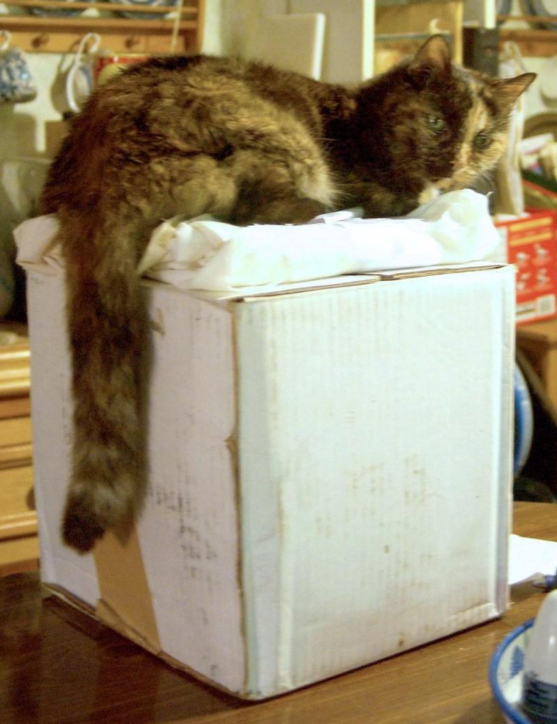 tortoiseshell cat on box