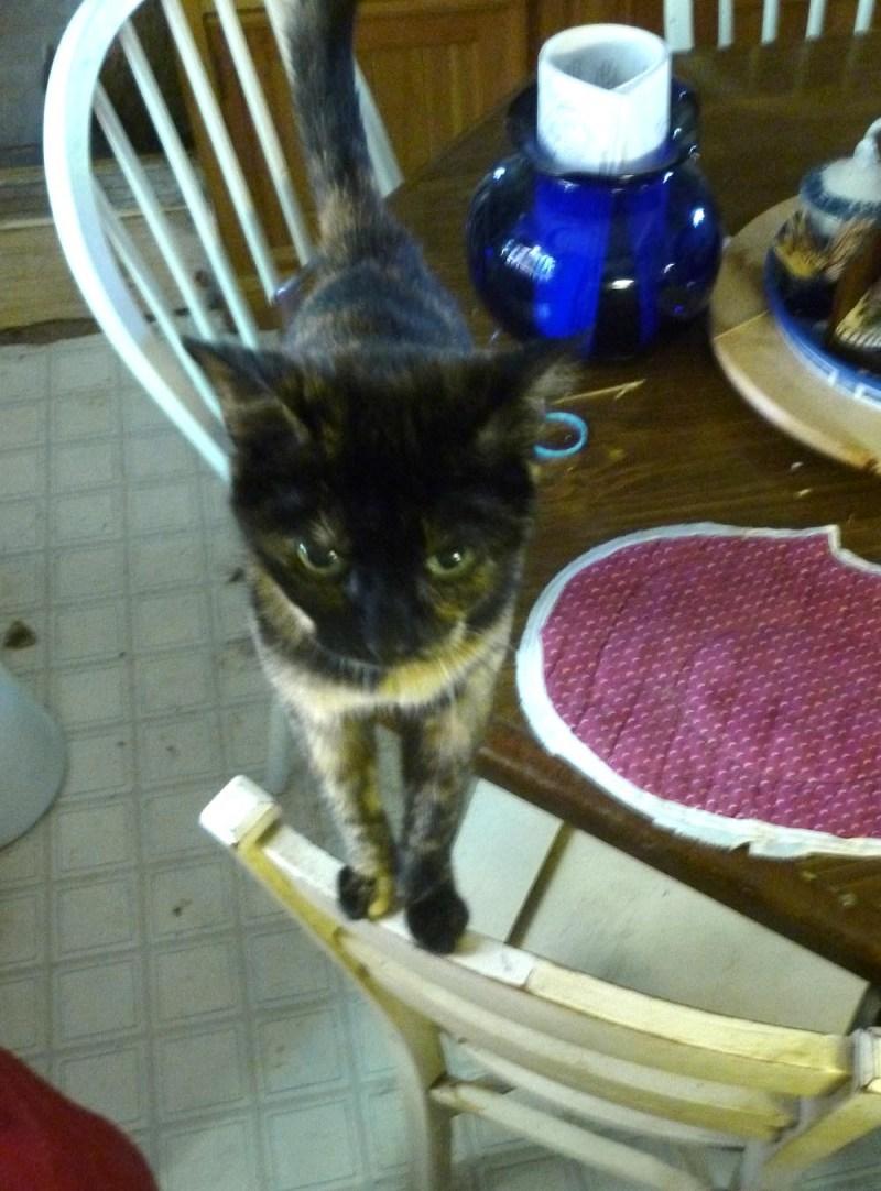 tortoiseshell cat staring