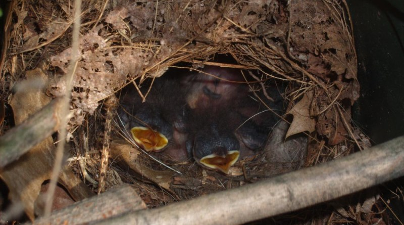 hungry baby wrens in their nest