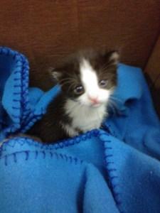 little tuxedo kitten