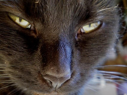 closeup of black cat