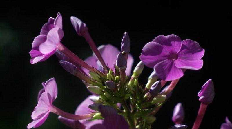 closeup of phloxx drumondii