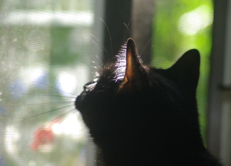 black cat looking up out window