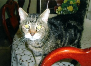 tabby cat for adoption