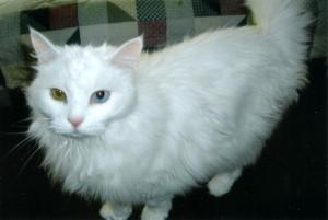 white cat for adoption