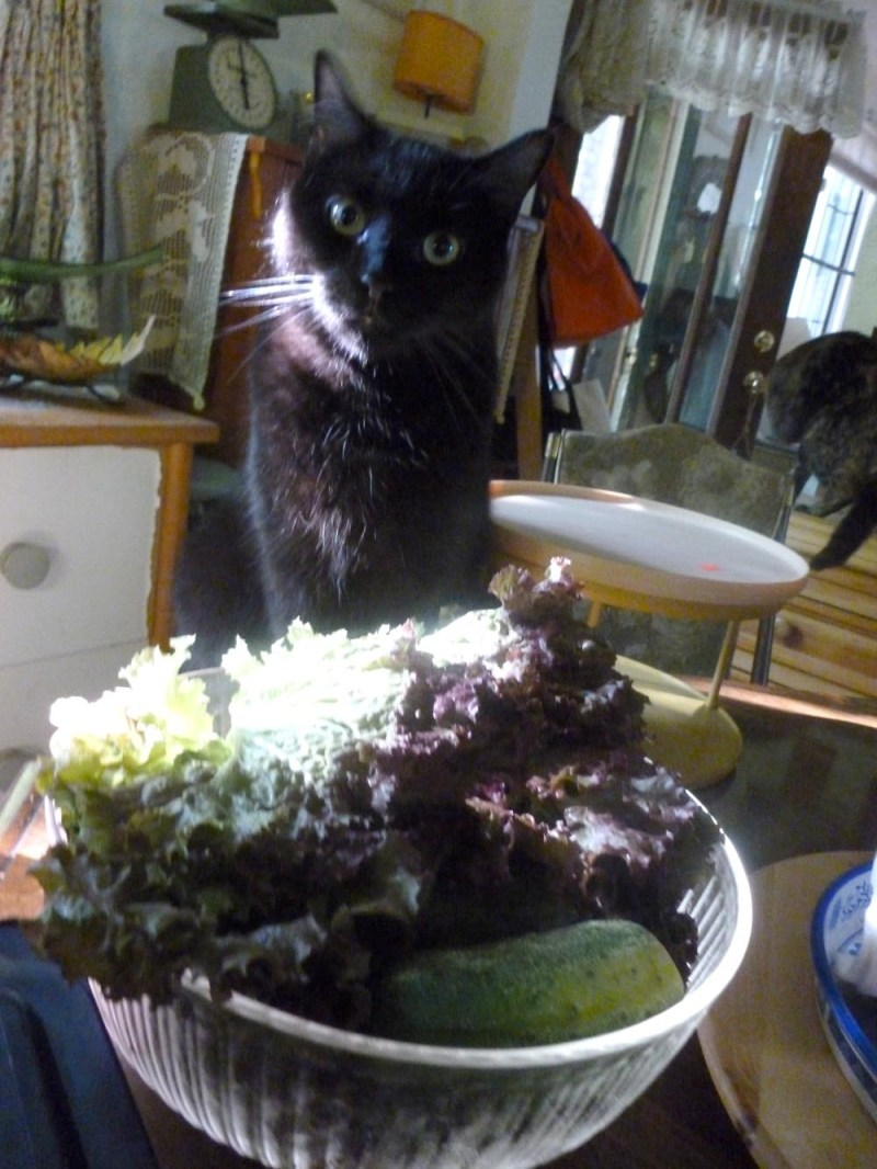 black cat with lettuce