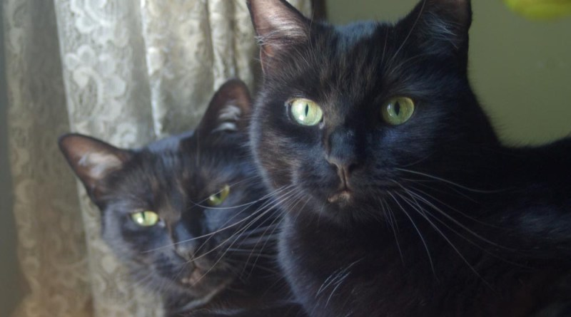 two black cats with green eyes