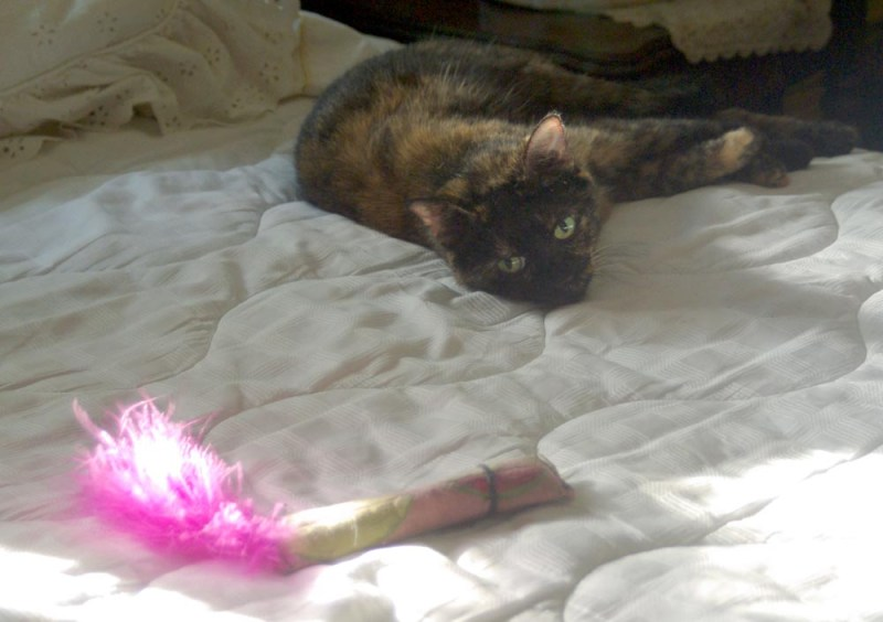 tortoiseshell cat with toy
