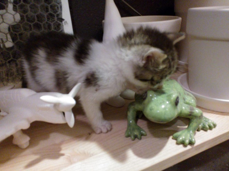 kitten with frog