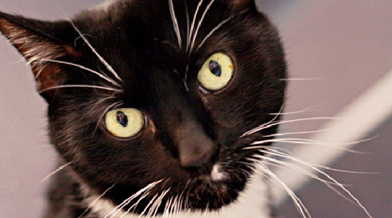 black and white cat for adoption