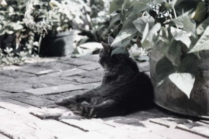 gray tabby cat in shade of bean plants