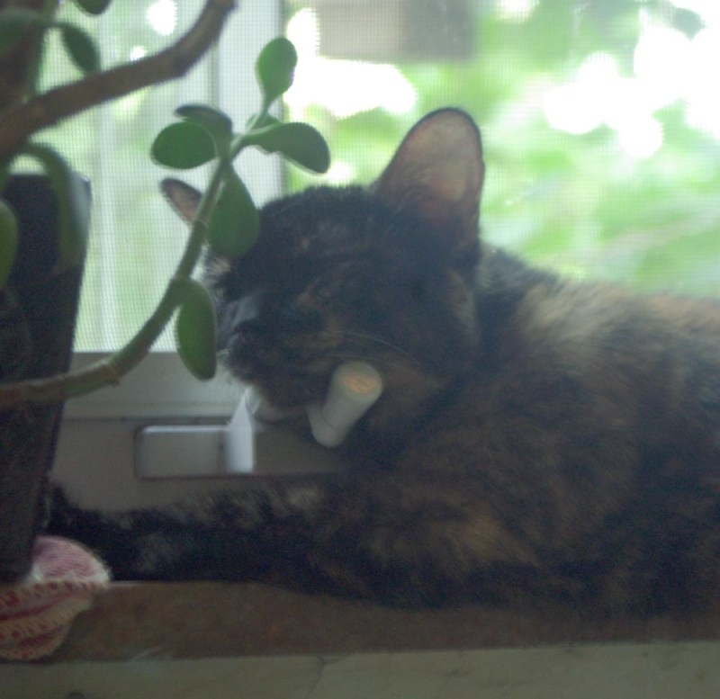 tortoiseshell cat with head on window winder