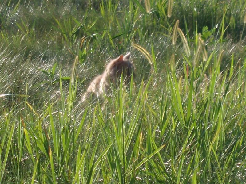 orange cat hunting in field