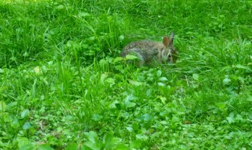 rabbit in yard