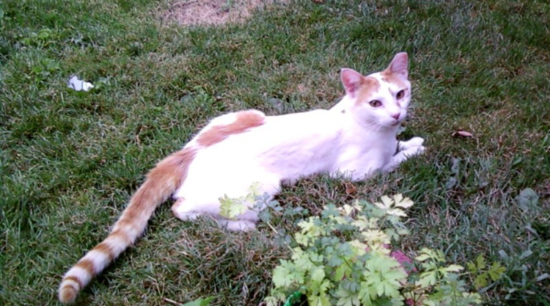 white cat with orange spots
