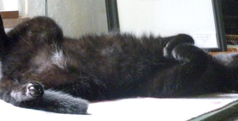 black cat lying on his back