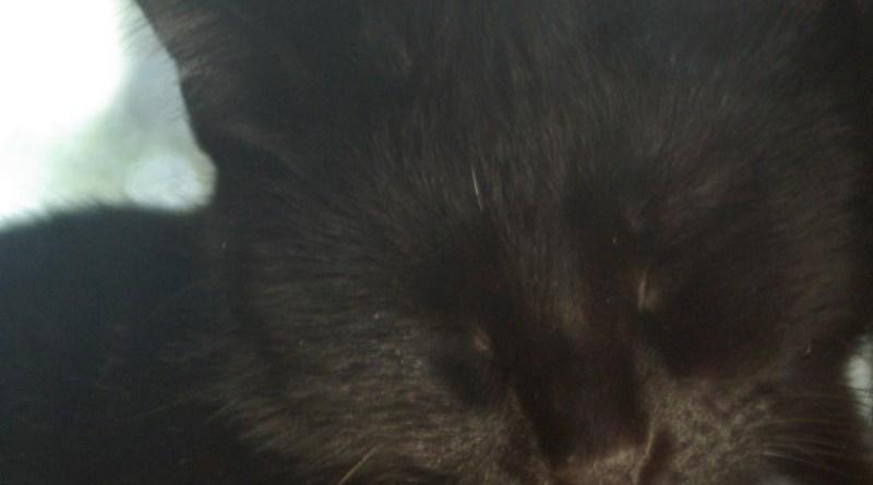black cat face sleeping