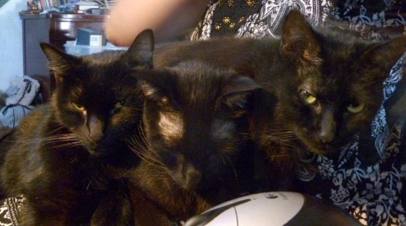 three black cats on lap.
