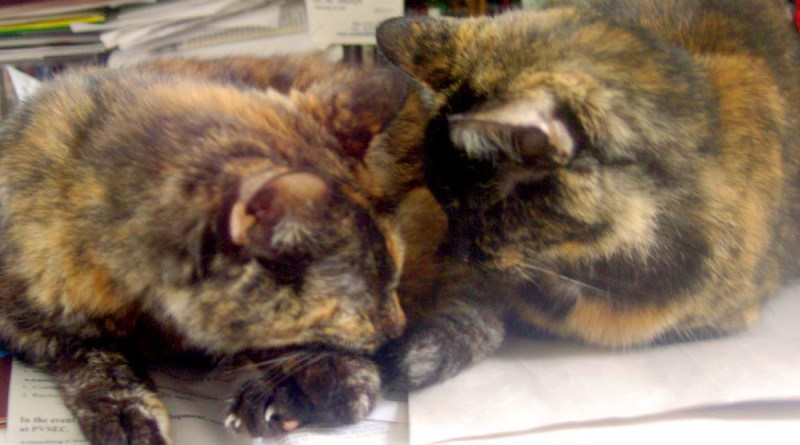 two tortoiseshell cats
