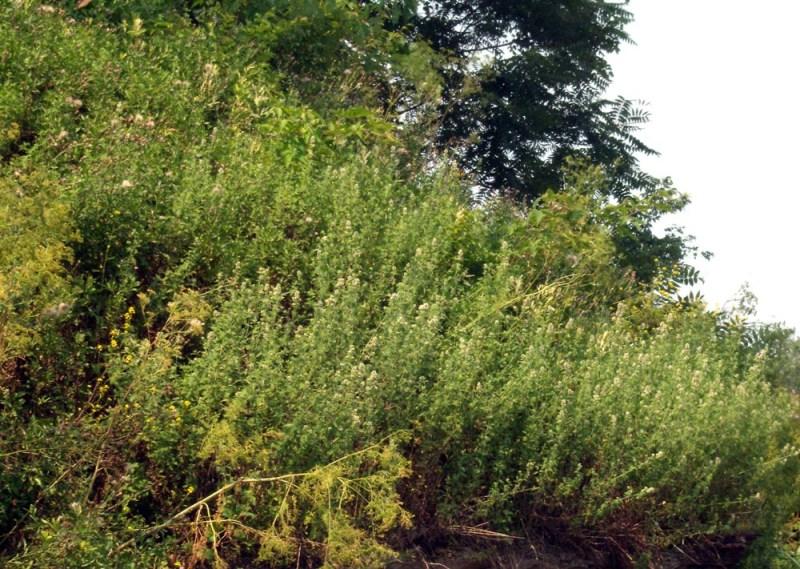 photo of catnip on hillside