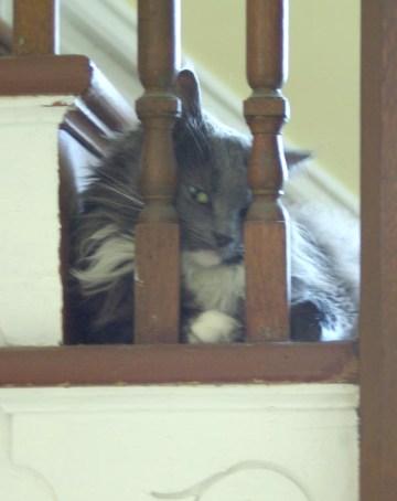 gray and white cat