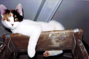calico cat on ladder