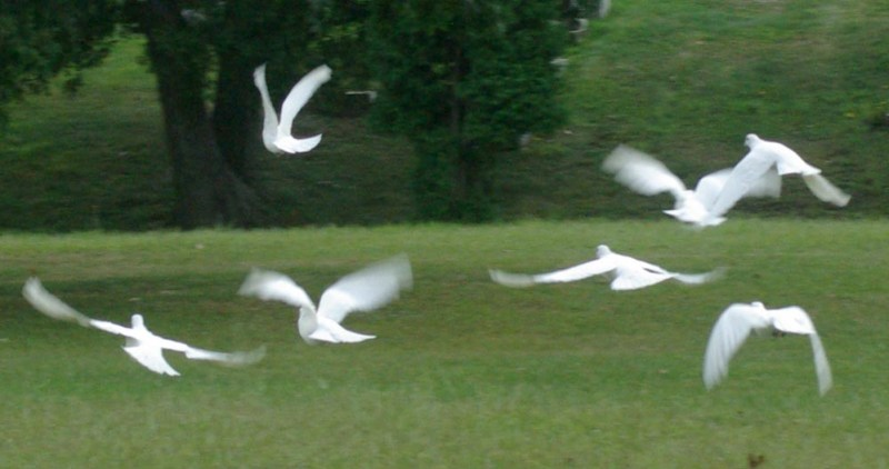 the doves take off