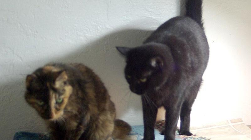 photo of a tortoiseshell cat and a black cat