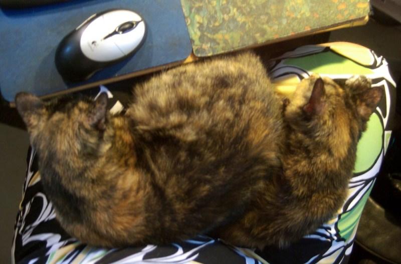 two tortoiseshell cats on my lap