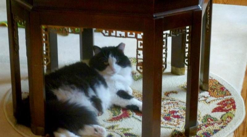 tuxedo cat under the table