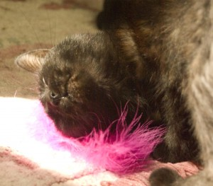 black cat with pink feather