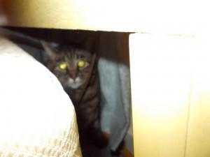 tabby cat under bed