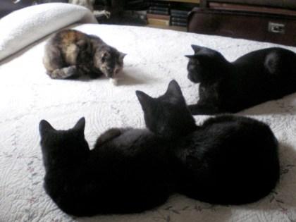 three black cats and tortoiseshell cat