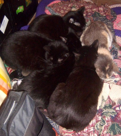 four black cats wtih calico cat